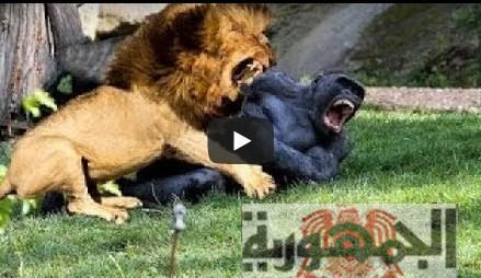 شاهد بالفيديو :اقوى لقطات افتراس مذهلة تحبس الانفاس وعالم الحيوان