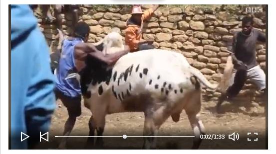 شاهد بالفيديو ..شروط الزواج والحصول على فتاة في مدينة مدغشقر - يصارع العريس ثور